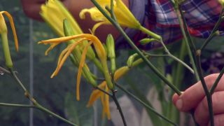 Hemerocallis de flor amarilla