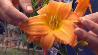 Hemerocallis de flor grande