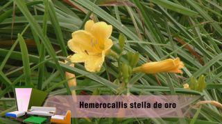 Hemerocallis estella de oro