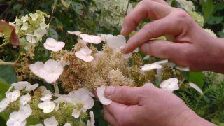 Hortensia hoja de roble (Hydrangea quercifolia) - Flor estéril