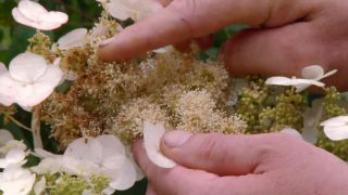 Hortensia hoja de roble (Hydrangea quercifolia) - Flor fértil