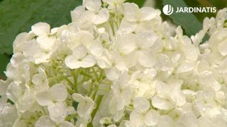 Hortensia Anabelle (Hydrangea arborescens Anabelle)