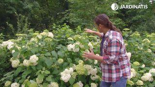 Hortensia Anabelle (Hydrangea arborescens Anabelle) - Poda