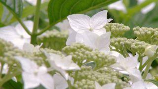 Hortensia (Hydrangea macrophylla)