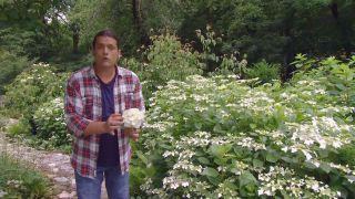Hortensia (Hydrangea macrophylla) - Flor