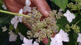 Hortensia (Hydrangea macrophylla) - Flor fértil azul