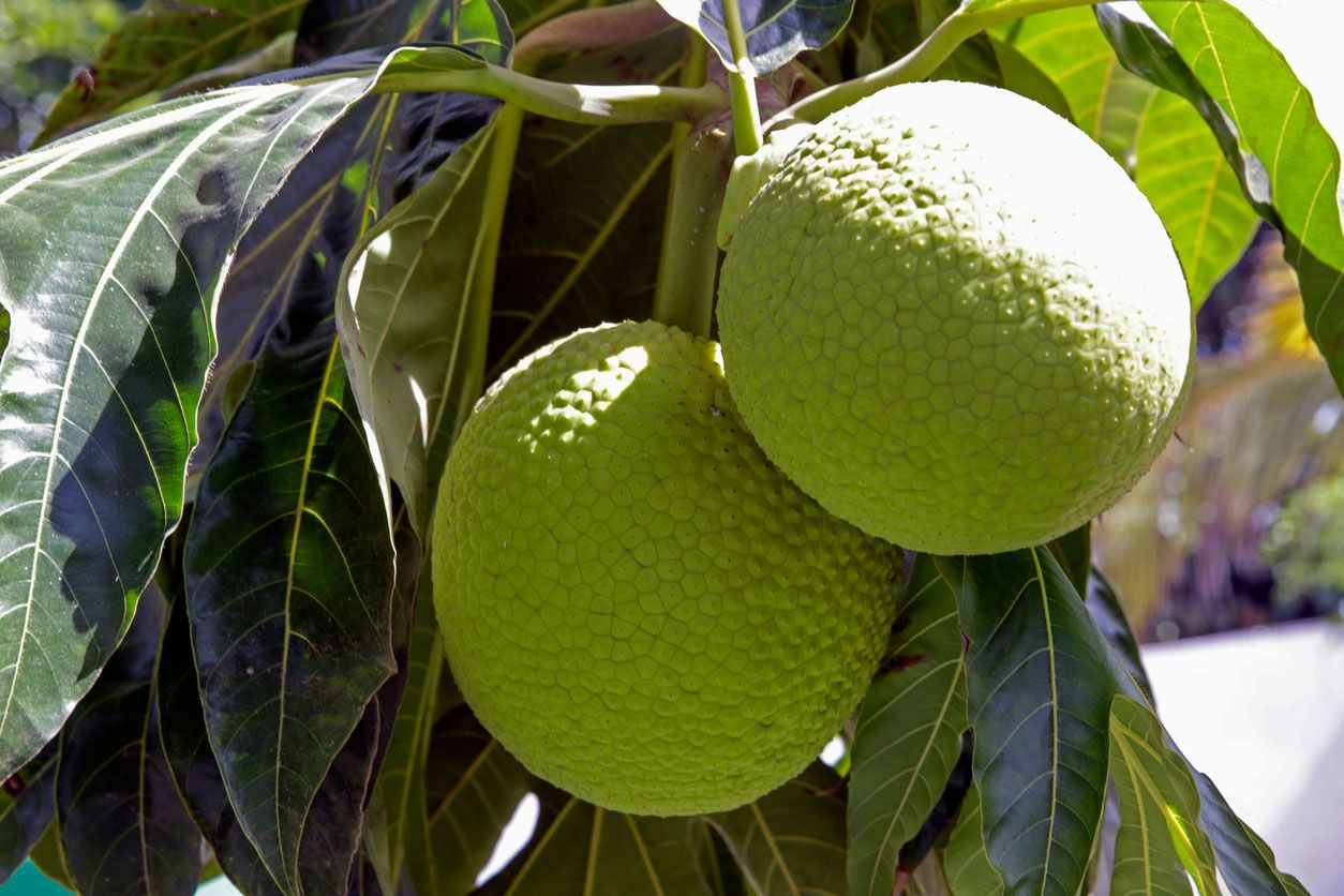Fruta de pan en el árbol