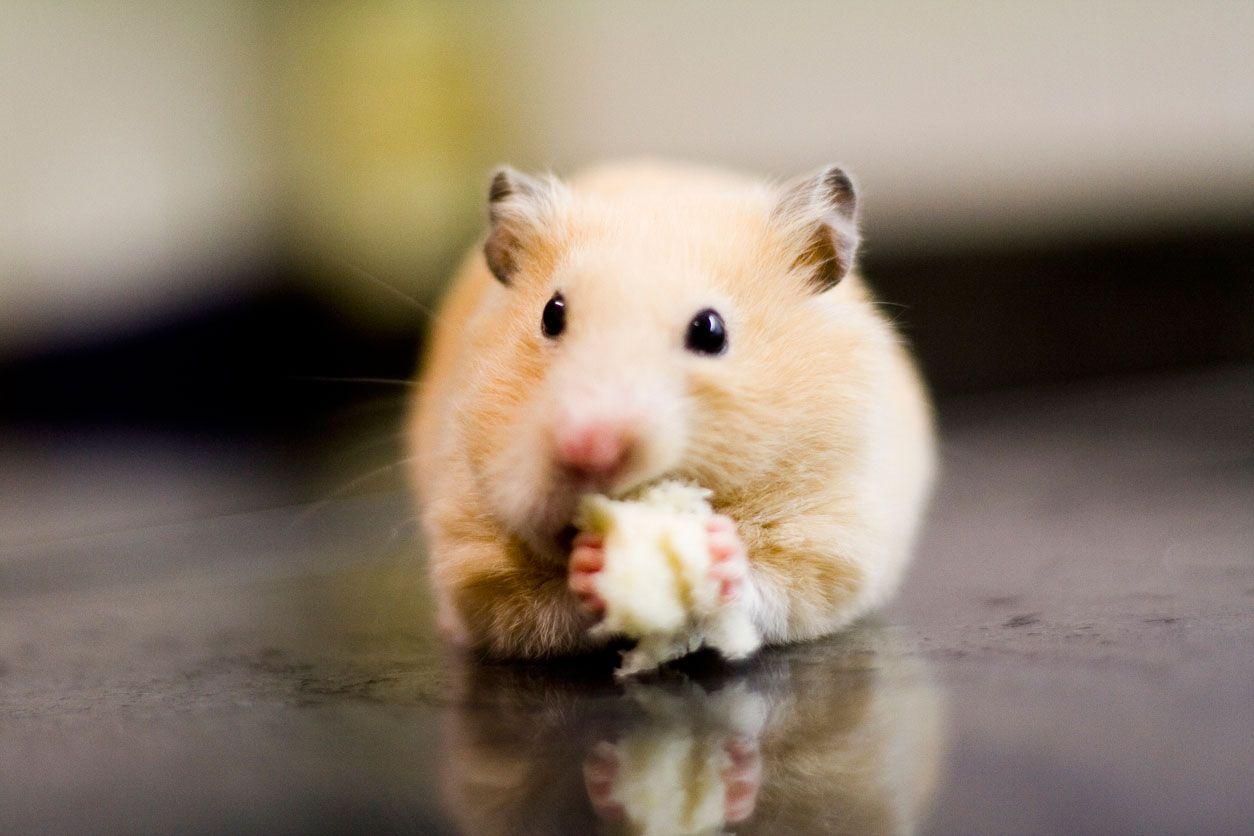 Las orejas de los roedores son pequeñas y redondas