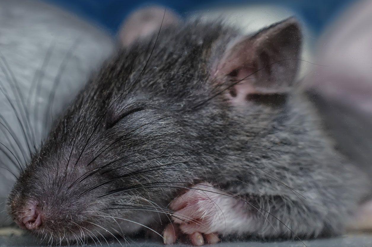 Los roedores no suelen tener pelo en las extremidades.