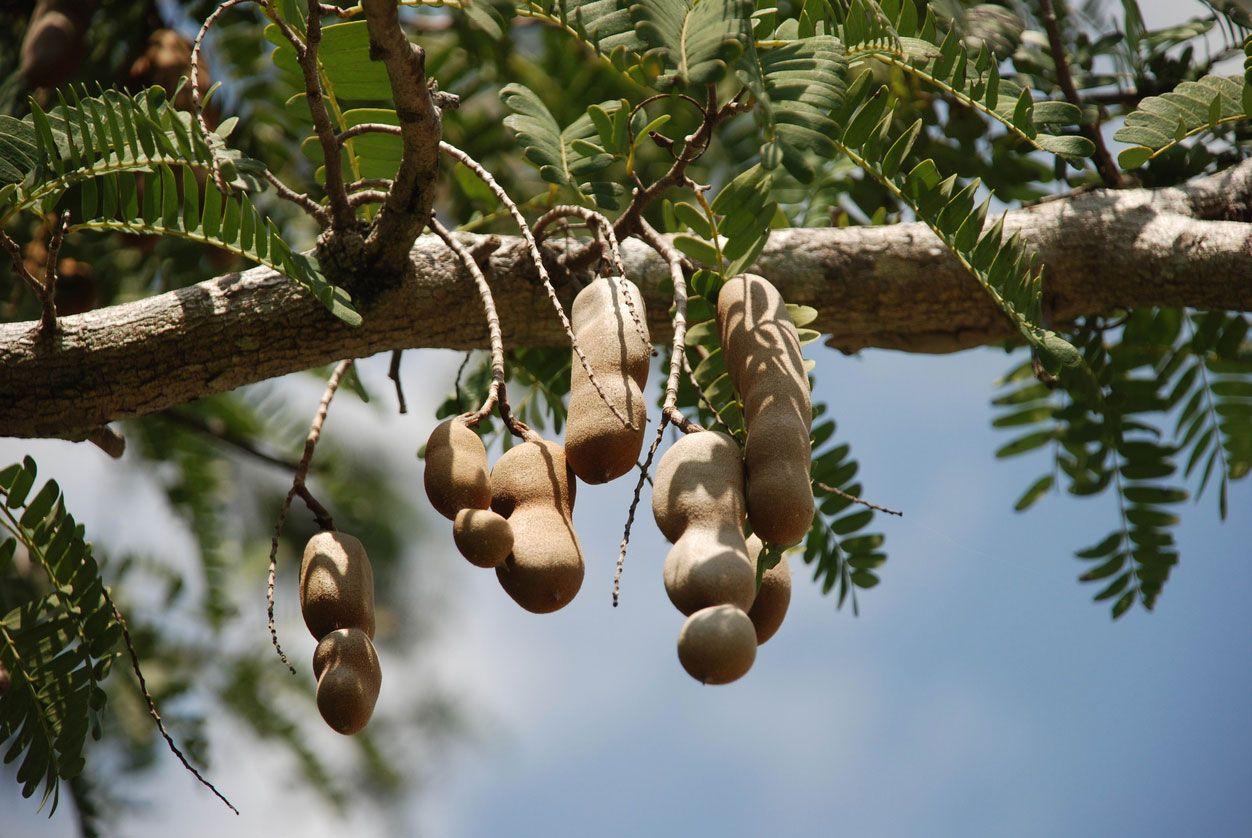 Tamarindo en el árbol