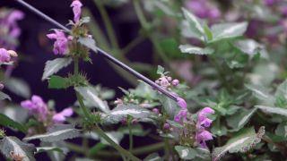 Lamium maculatum - Flor
