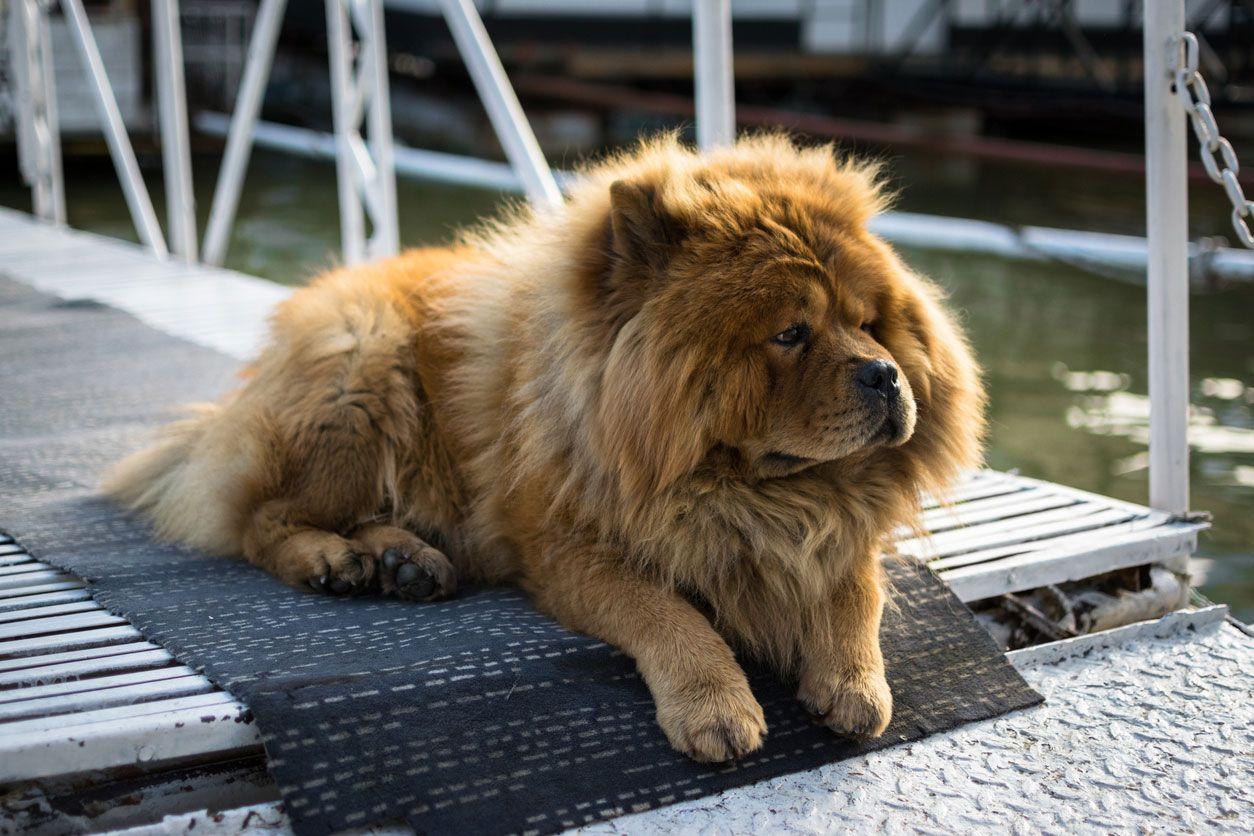 El parecido de los Chow Chow con un pequeño león es muy curioso