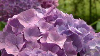 Variedades de hortensias de flor azul - Poda