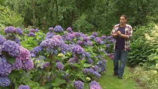 Variedades de hortensias de flor azul - Inicio