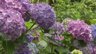 Variedades de hortensias de flor azul - Suelos