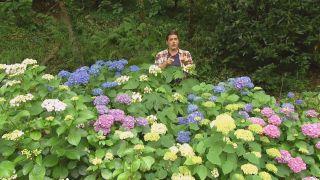 El color azul en las hortensias
