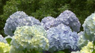 Variedades de hortensia azul