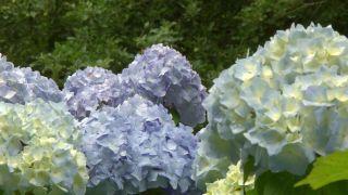 Variedades de hortensias de flor azul
