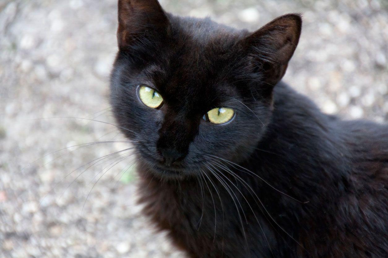 Los gatos negros son animales bellos y elegantes