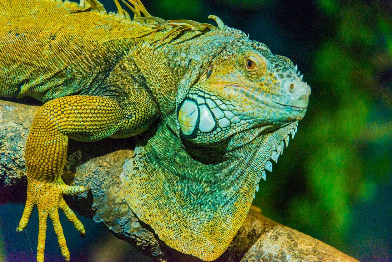 La iguana es un animal grande, muy fuerte y territorial