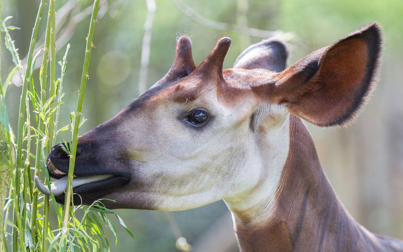 El okapi es mitad cebra mitad jirafa