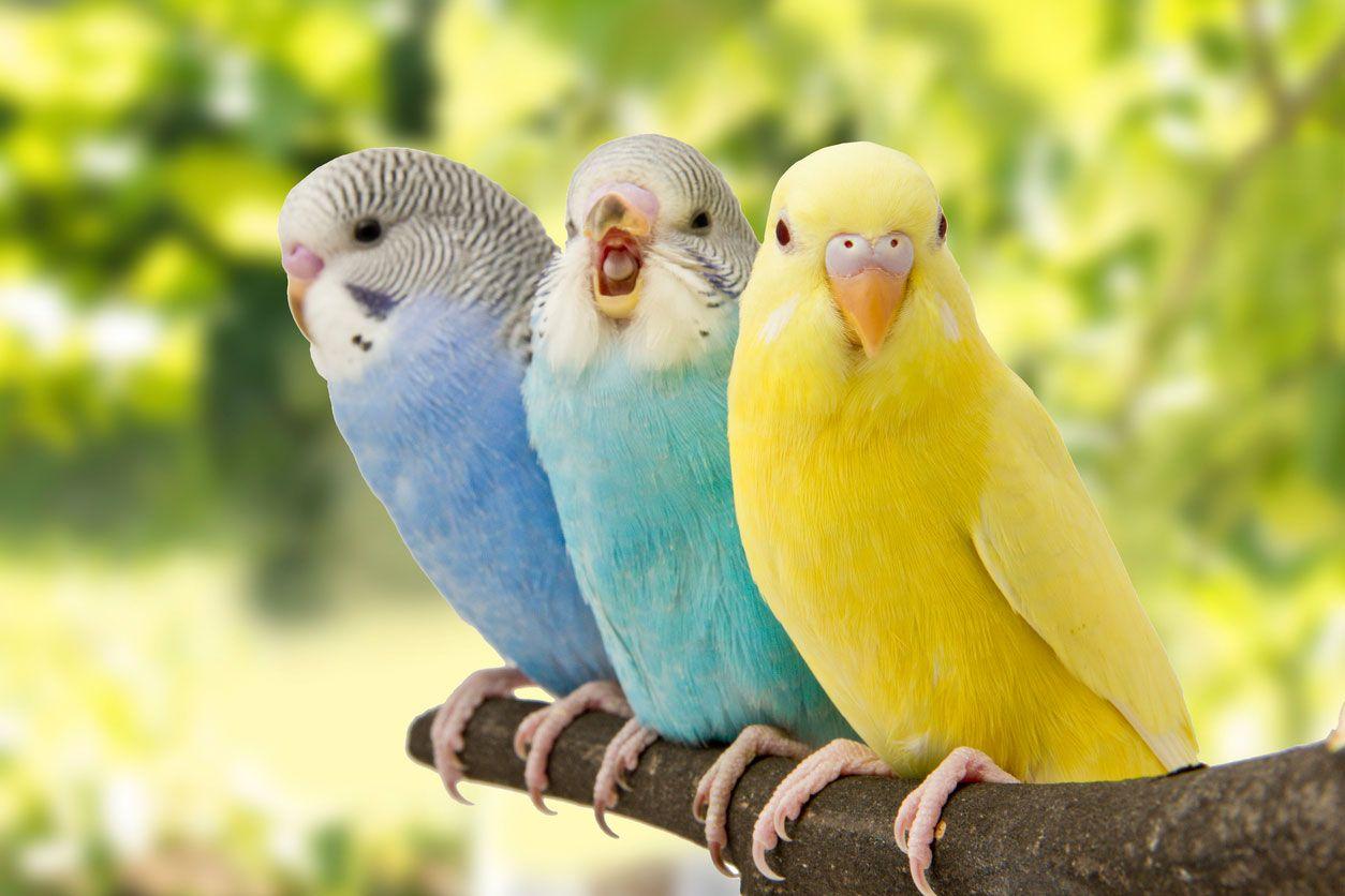 Los periquitos son más felices en pareja