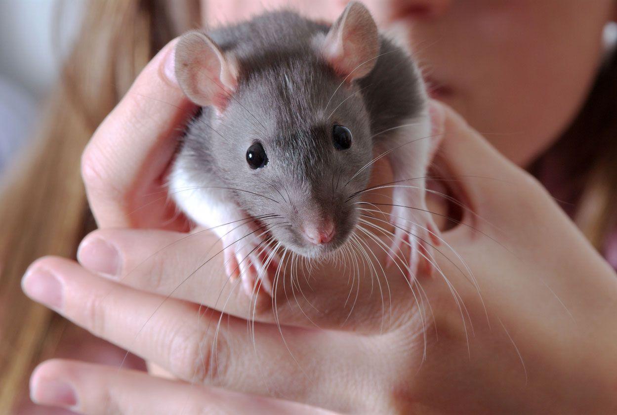 Rata (Rattus)