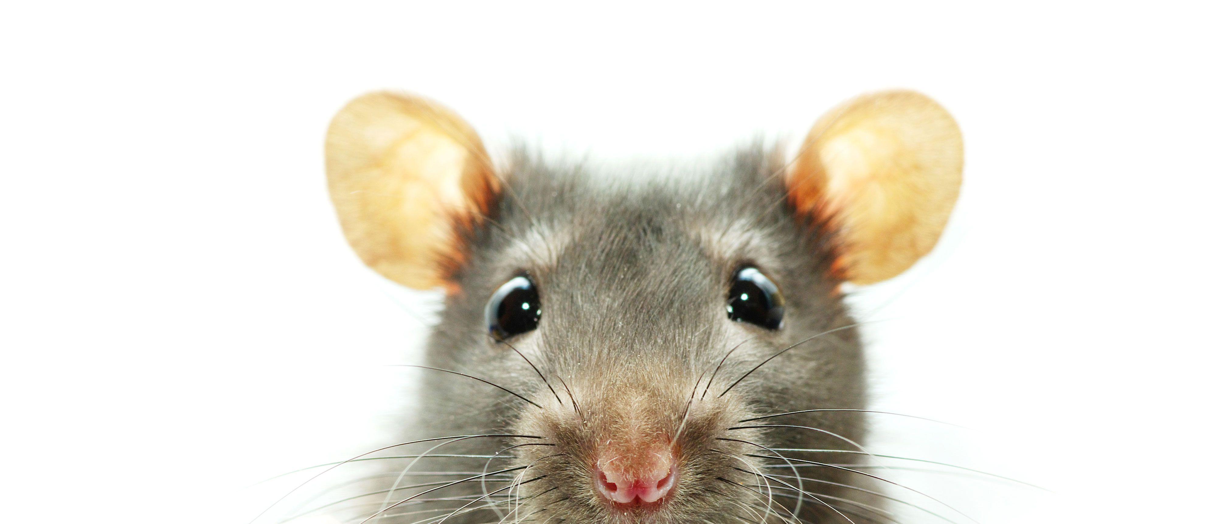 Las ratas son muy inteligentes
