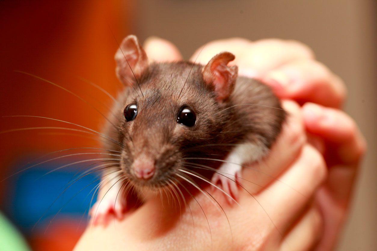 Rata parda o rata común