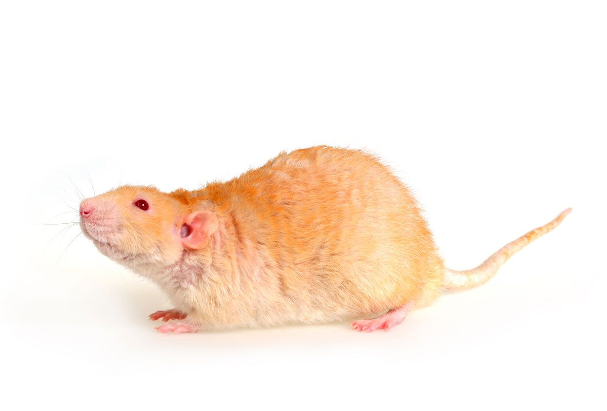 Rata rex
