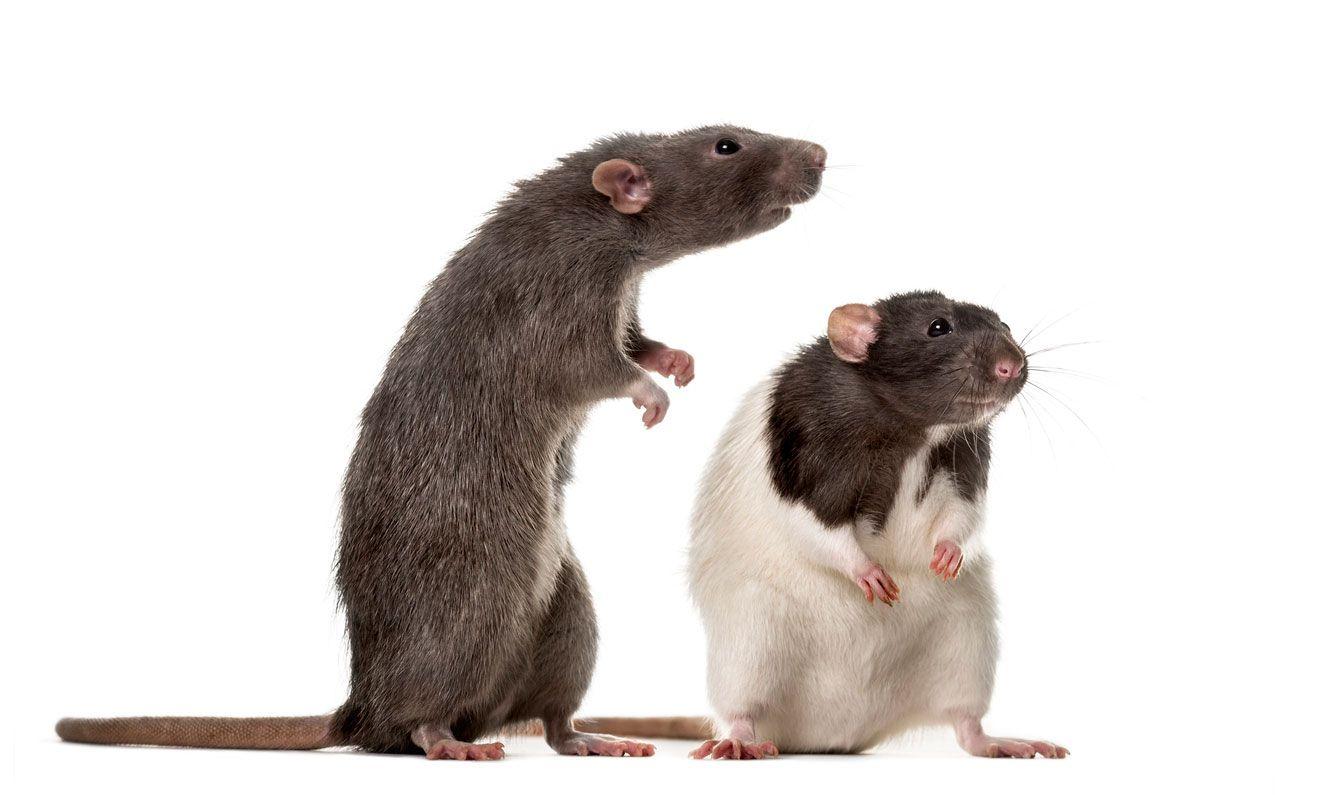Las ratas prefieren vivir en comunidad