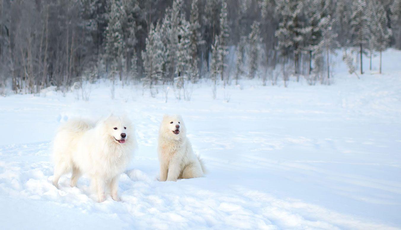 Los samoyedos son perros de nieve de origen ruso