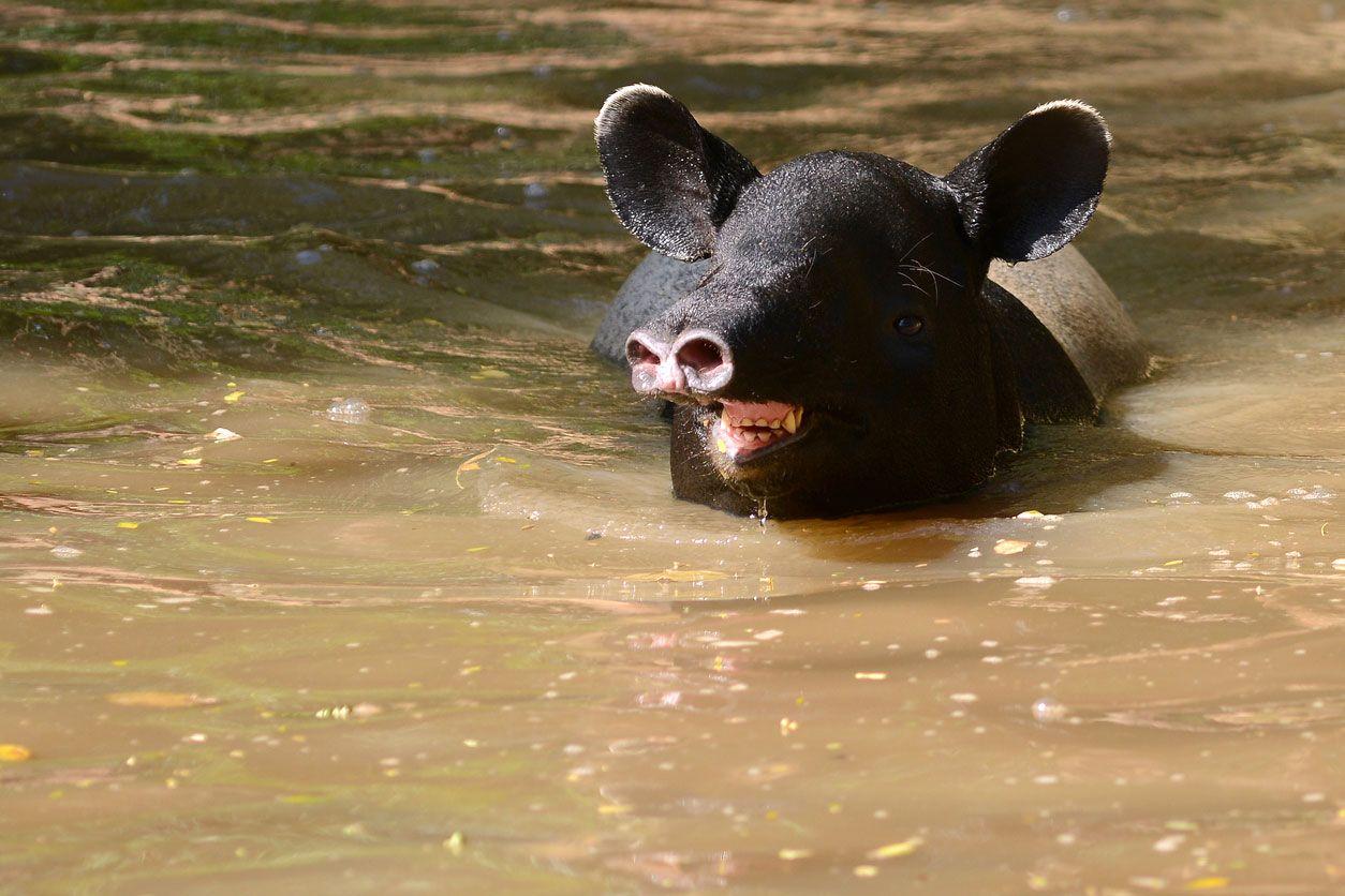 Los tapires malayos necesitan vivir cerca del agua.