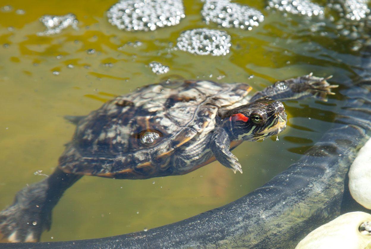 Las tortugas de agua no son gregarias.