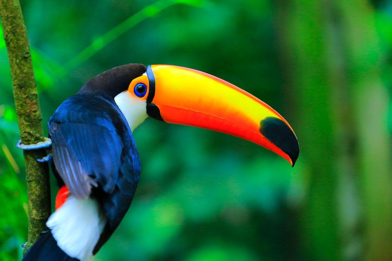 Tucán, ave exótica