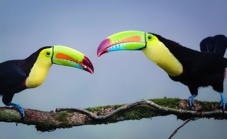 El tucán suele vivir en pareja