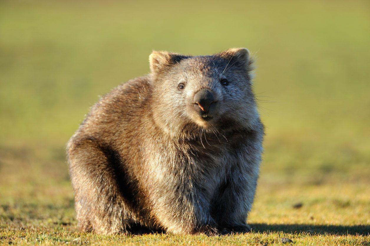 Los wombat tienen dos incisivos al igual que los roedores