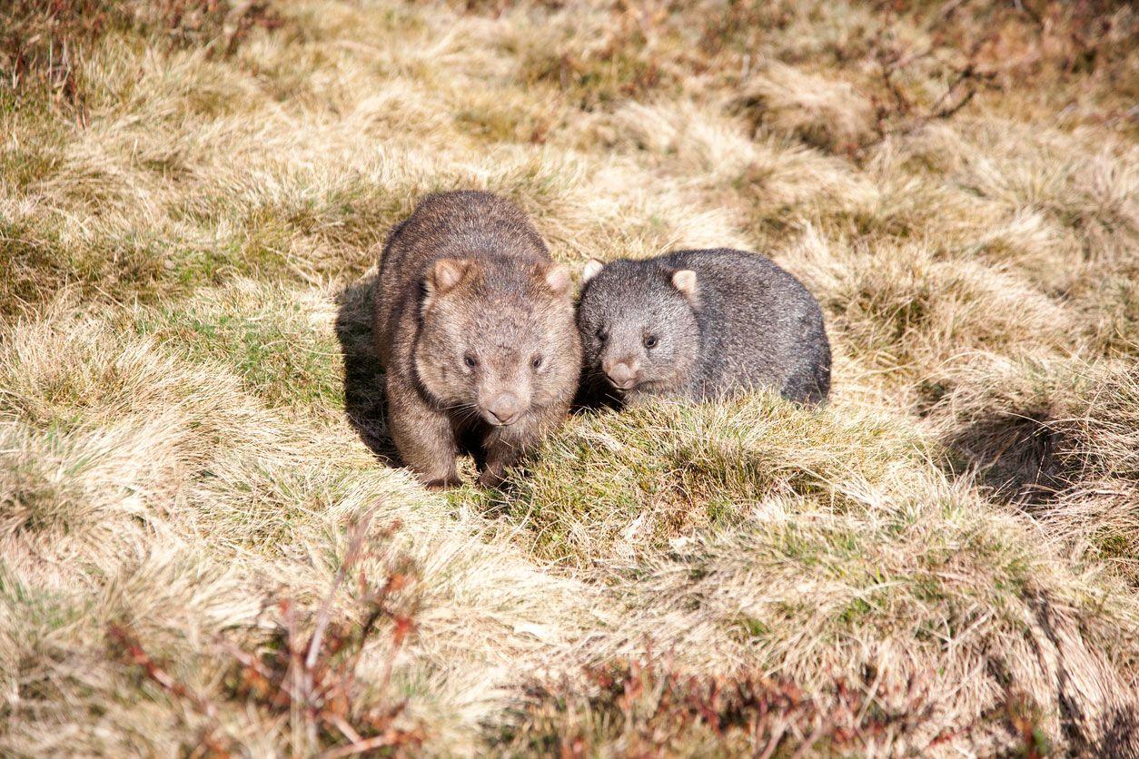 Wombat madre con su bebé