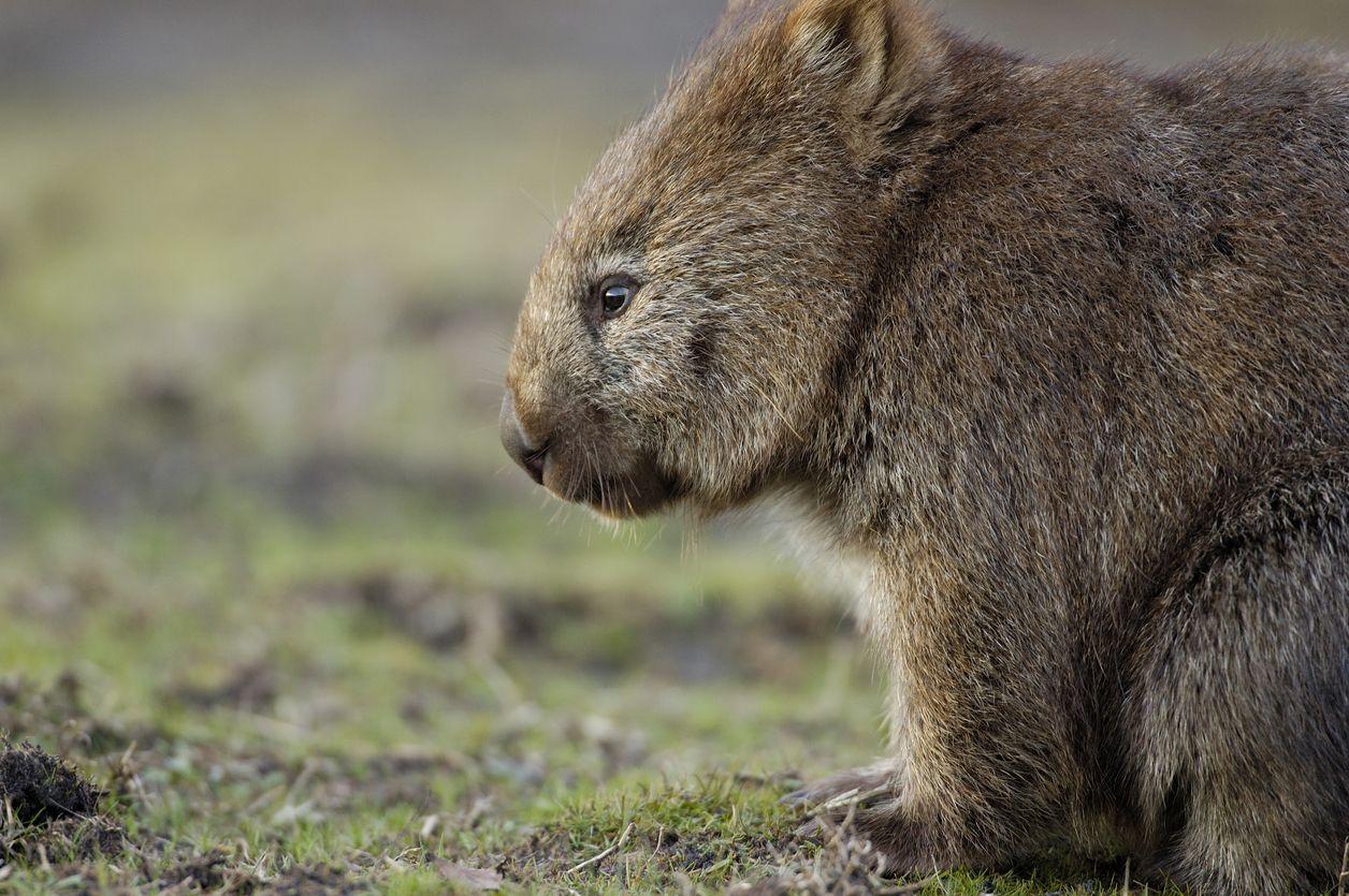 El pelo de los wombat es pardo y grueso