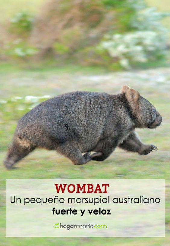 Wombat, un pequeño marsupial australiano fuerte y veloz