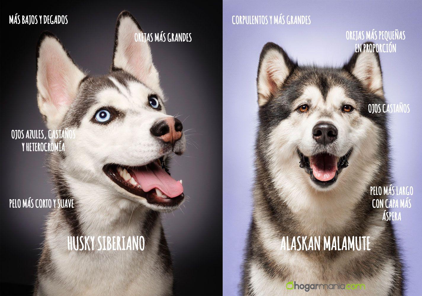 Diferencia entre Alaskan Malamute y Husky Siberiano.