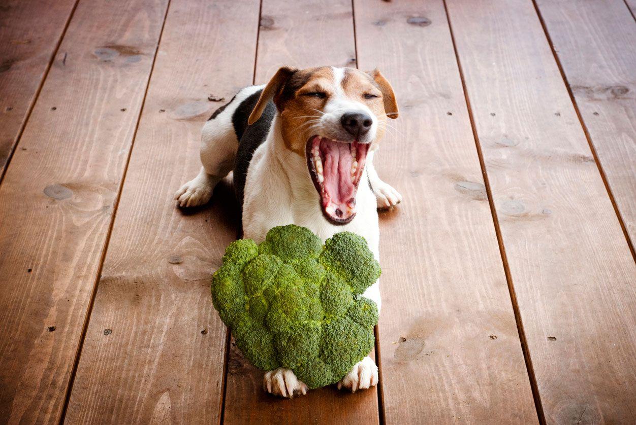 Alimentación vegana en perros.
