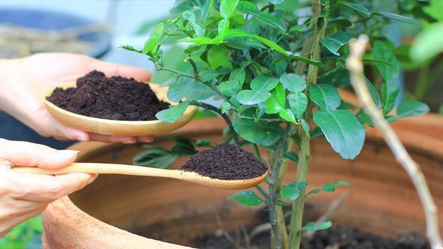 Los residuos del café actúan como un fertilizante natural.