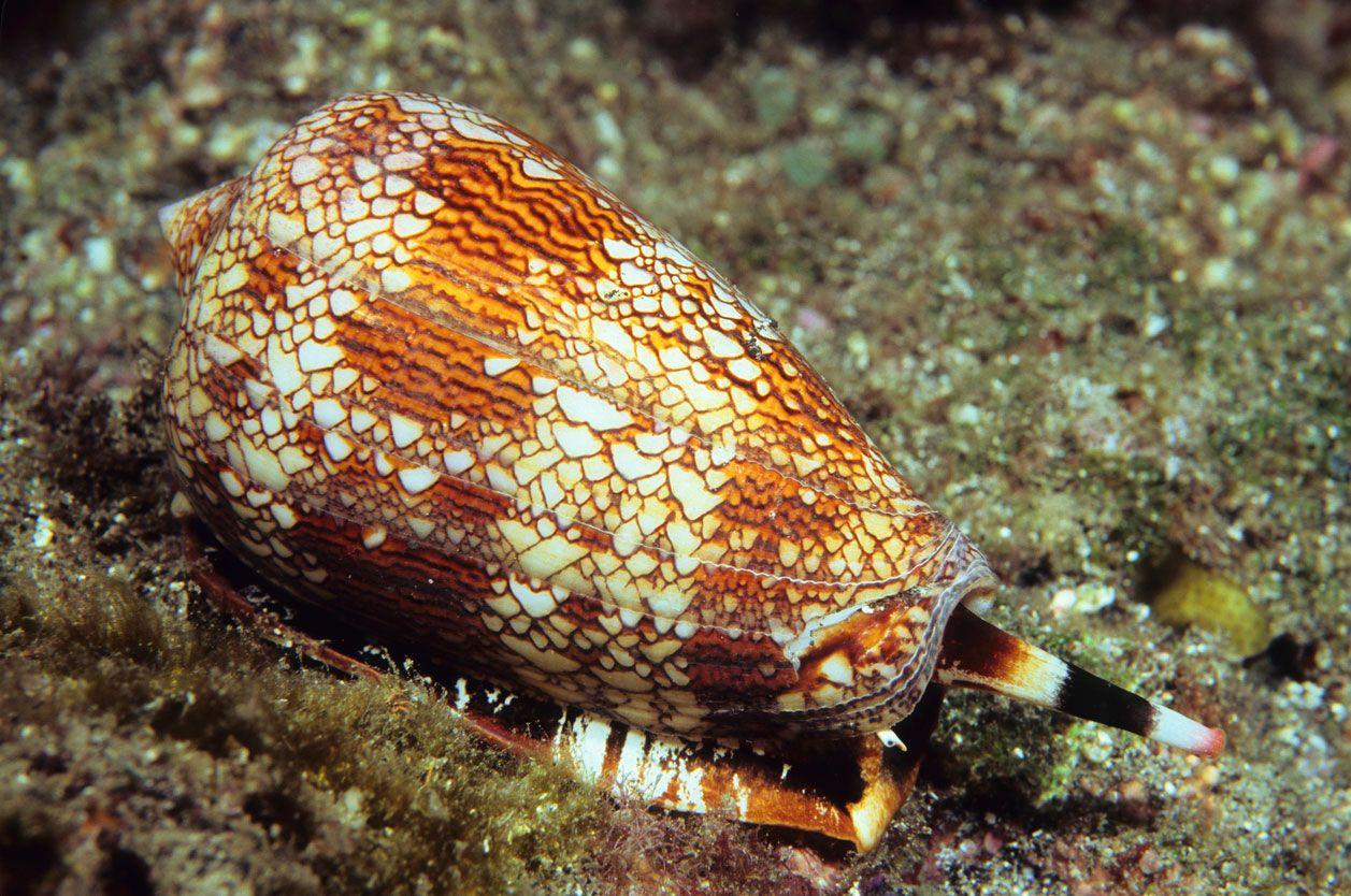 Caracol cono de mármol, un molusco muy venenoso y peligroso.