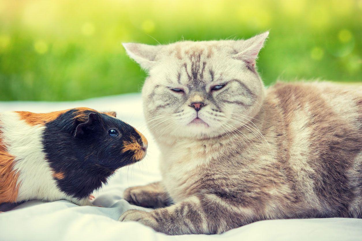 Convivencia de gatos y cobayas.