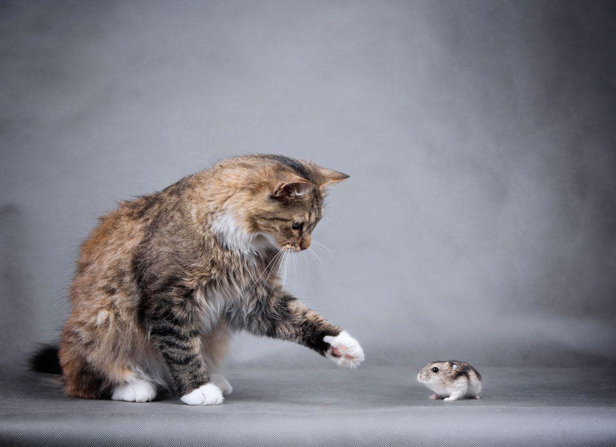 Convivencia gatos y hámsters.