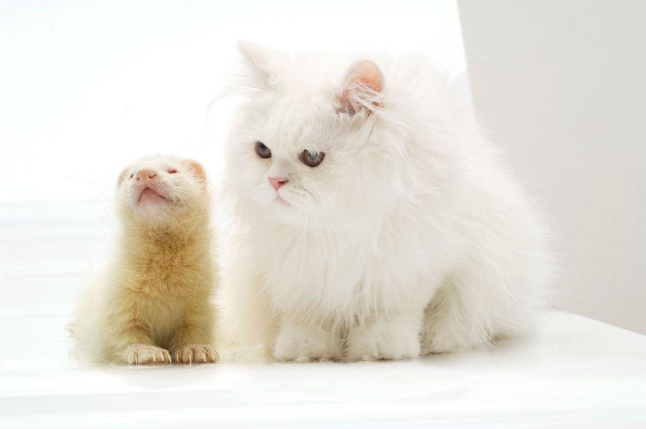 Convivencia gatos y hurones.
