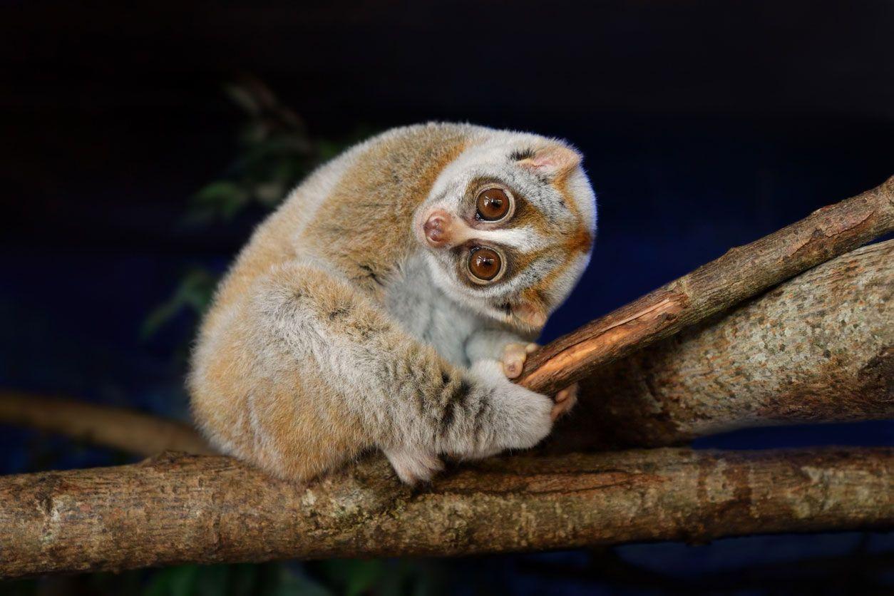 El loris perezoso, el único primate venenoso.