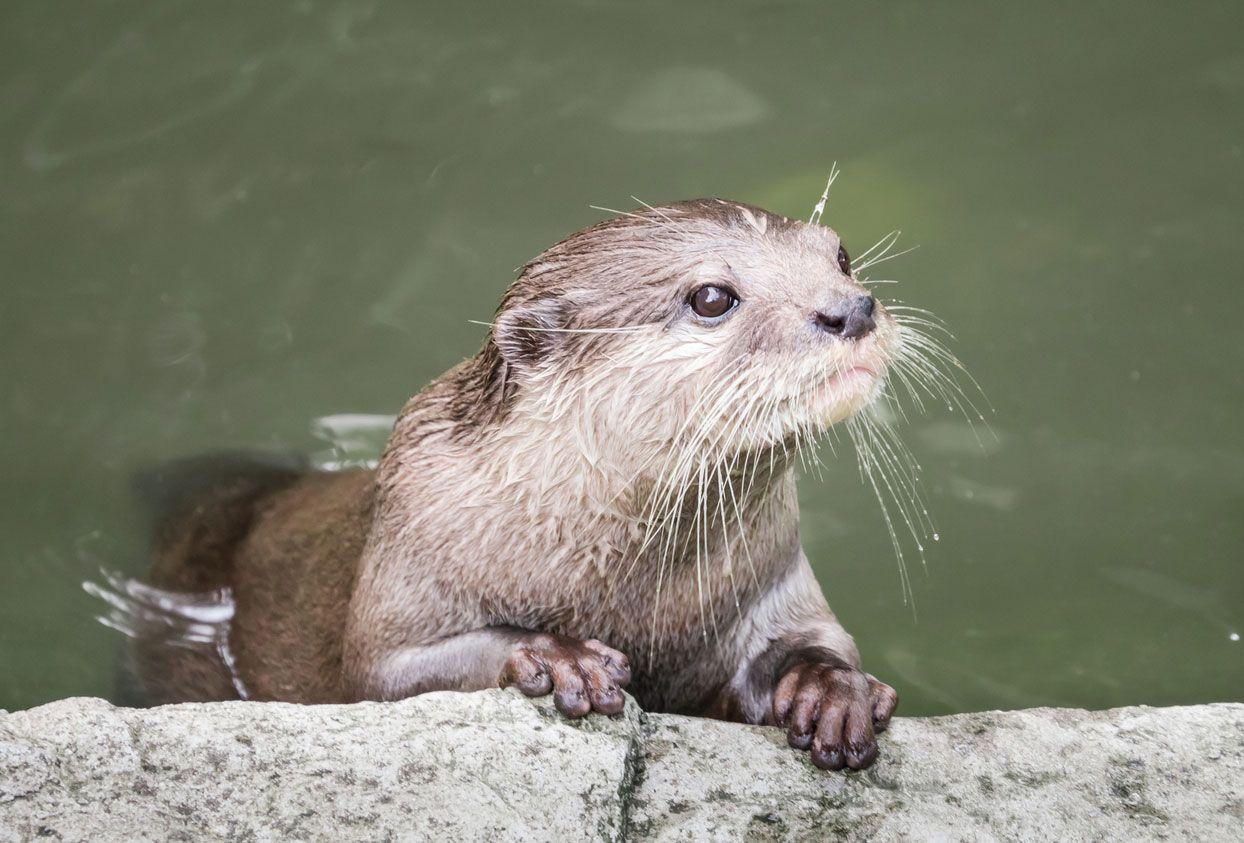 Las nutrias ven mejor debajo del agua.