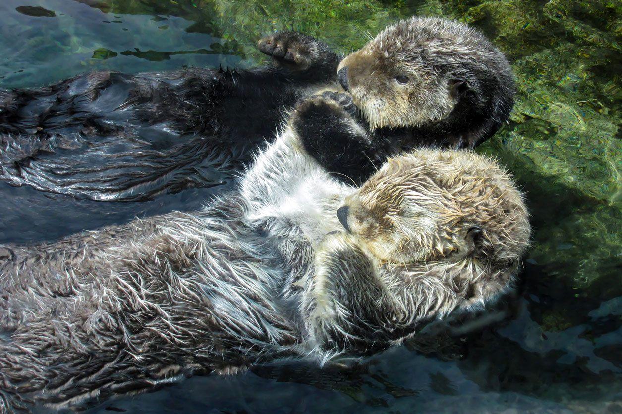 Las nutrias se dan la mano para dormir en el agua.